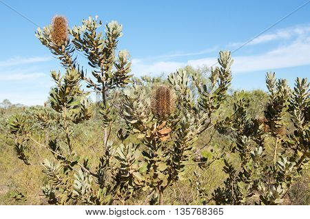 Banksia pendants on a native plant in the Kalbarri National Park bushland under a clear blue sky in Western Australia.