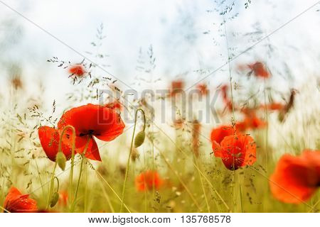 Early summer - poppies in high grass