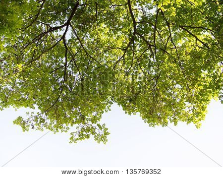 Tree. Perspective unique nature green leave view from under big green tree. Natural and environment concept.