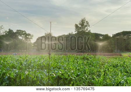 Harvesting Corn and Spray Watering with Clear Sky