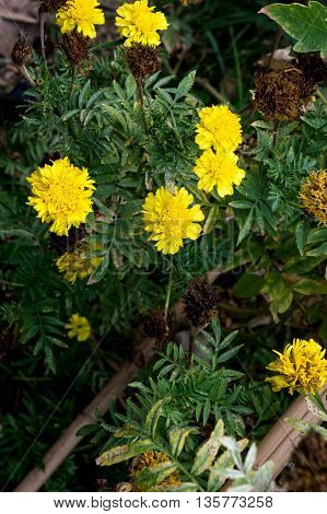The marigolds and marigolds, yellow garden plant