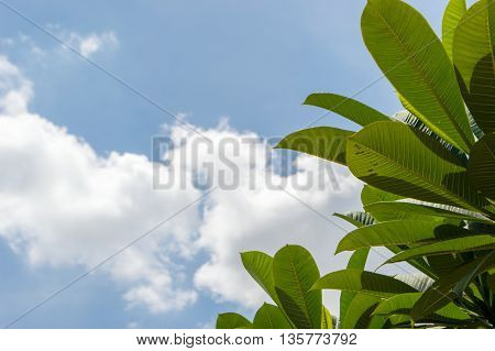 Green Leaves In The Foreground And Background Of Sky And Clouds.