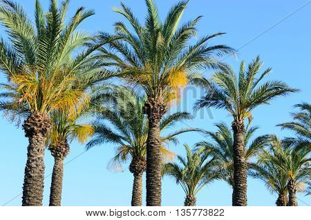 palm trees line against a blue sky horizontal photo
