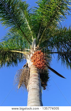 fruits on the palm tree blue sky photo