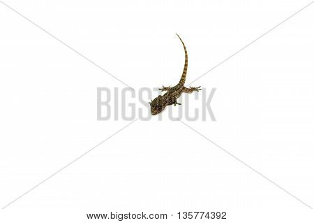 House lizard animal isolated on white background.