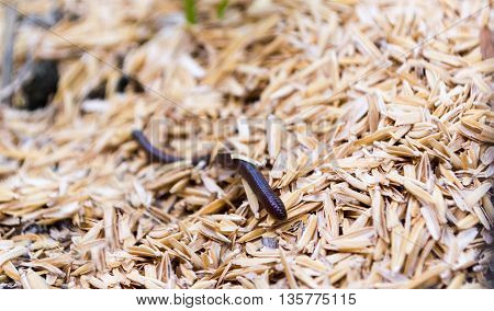 Earthworm, Lumbricina, Haplotaxida. Small animal in nature and utilize the soil.