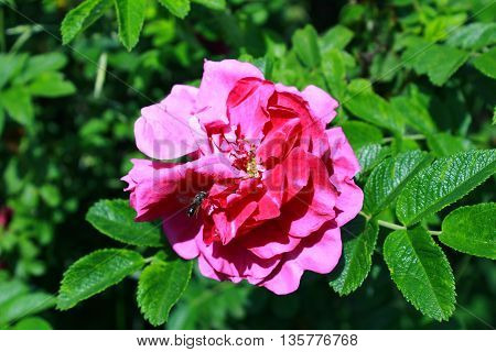 Flowers Of Dog-rose (rosa Canina) On Natural Background.