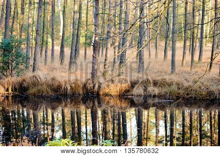 Calm swamp water reflecting tall trees in forest with tall patches of grass during autumn season