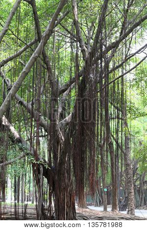 Branch of banyan tree in the public park for design nature background.