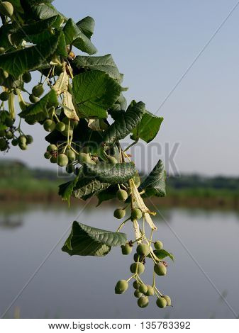 The Tilia cordata (Tilia cordata) crop after flowering.