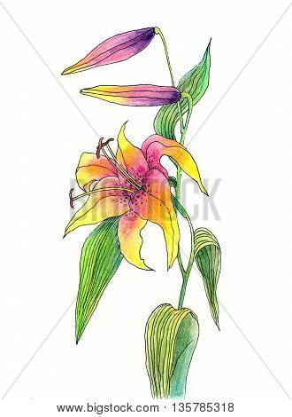 Hand drawn flower of lily color pencils and pen technique