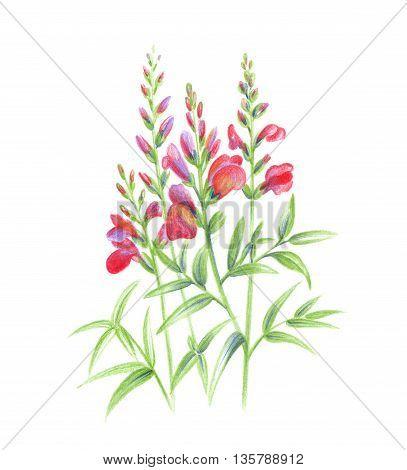 Beautiful Snapdragon flowers color pencils hand draw technique