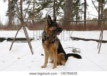 German Shepherd Dog On Snow In Winter Day