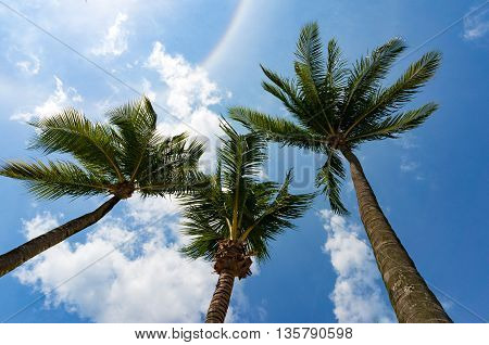 Looking up on three palm trees crowns with blue sky with clouds and sun rainbow on the background. Coconut trees perspective view