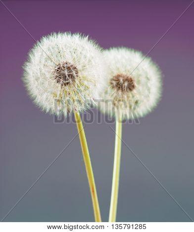 dandelion flower on violet color background, many closeup object