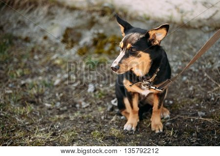 Mixed Breed Small Size Dog Sits Outdoor.