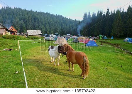 GLAVOI, ROMANIA - AUGUST 07, 2015: two ponies are flirting in the free camping site Poiana Glavoi in Apuseni Park, nearby Cetatile (Fortress) Ponorului