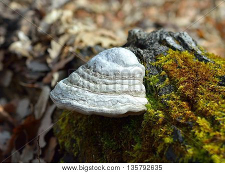 Fomes fomentarius, commonly known as the tinder fungus, false tinder fungus, hoof fungus, tinder conk, tinder polypore or ice man fungus