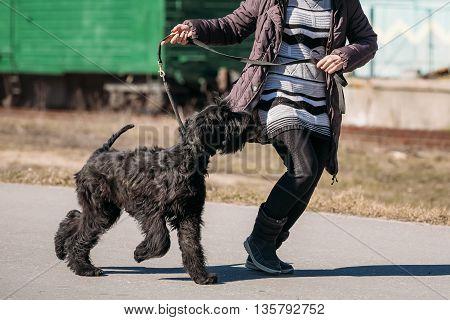 Black Giant Schnauzer Or Riesenschnauzer Dog Runs Outdoor Near Woman