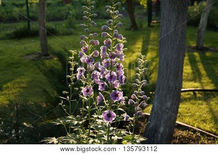 Delphinium flowers in evening garden in sunlight