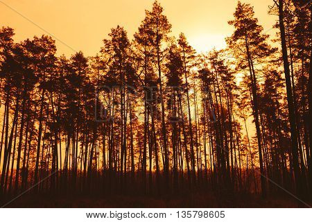 Dark Silhouettes Of Pine Trunks And Crowns Of Trees On A Background Of Bright Red Sunset Sky. Forest Woods At Dusk, Sunrise