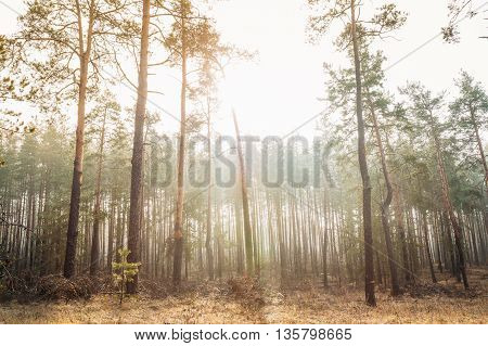 Autumn Misty Forest Landscape. Scenic View. Nature