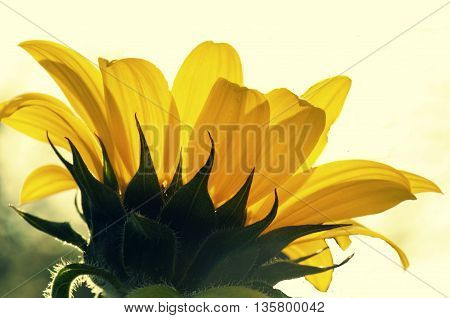 beautiful sun flower with pale yellow background