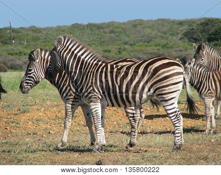 Zebra, Koeburg Nature Reserve, Cape Town South Africa 12