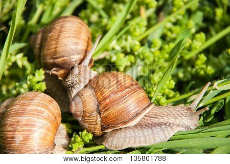 three snails are crawling in the green grass.
