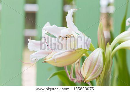 Swamp Lily Flower