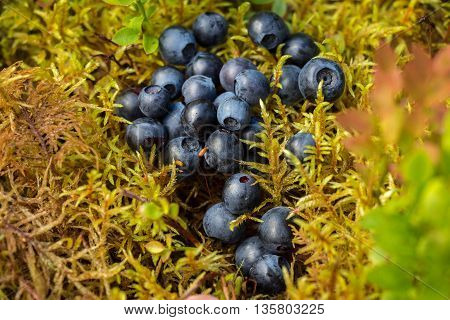 Delicious ripe blueberries lying on a yellow-green soft moss in a pine forest on a Sunny blueberry meadow.