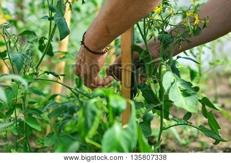 Man's hands tying up branches of plants.Farmers planted tomatoes in garden