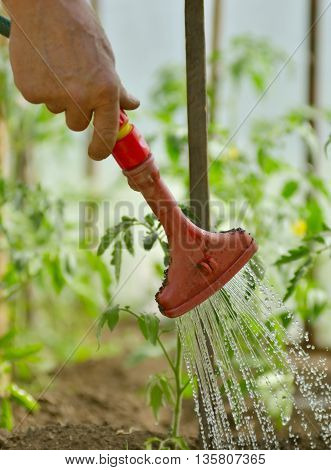 Watering the plants from a watering can. Watering agriculture and gardening concept.watering seedling tomato