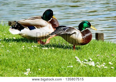 Pair of cute mallard ducks hanging out to relax near pond with copy space over water