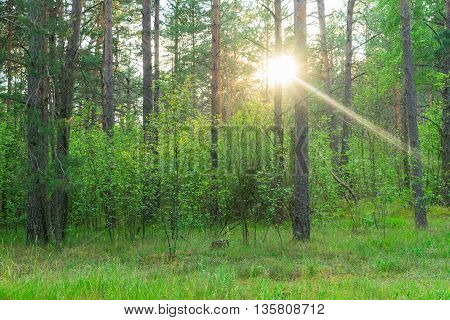 Summer pine green forest with shining sun