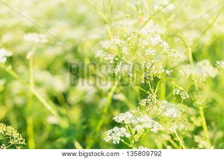 yarrow fresh flowers in field illumnated with sun
