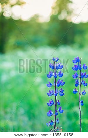 Violet lupine flowers field with green grass