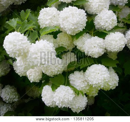 Viburnum Roseum bloomed beautiful white globular flowers in the village.