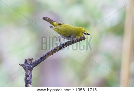 Bird ,Oriental white-eye . lovely bird on branch