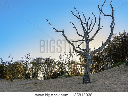 Autumn morning with silhouettes of dead trees on the sand.
