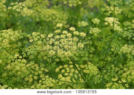Blooming Dill growing in the vegetable garden
