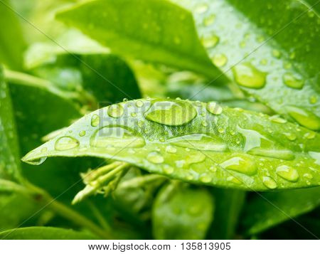Very green leaves of Star Jasmine with raindrops after rain