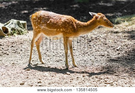 young roe deer standing in the forest
