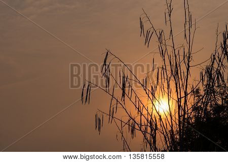 Silhouette of Horse radish tree Drumstick (Moringa Oleifera Lam.) at sunset