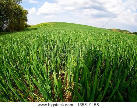Summer Landscape Green Wheat Field and Clouds Agriculture Nature Background Image