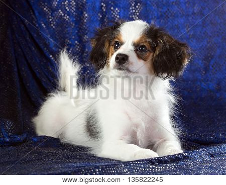 Cute puppy of the Continental Toy spaniel - Phalene - on a blue background