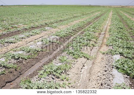 Young watermelon furrows growing at Vegas Altas del Guadiana Spain