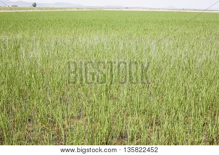 Young rice are growing in paddy fields Vegas Altas del Guadiana Spain