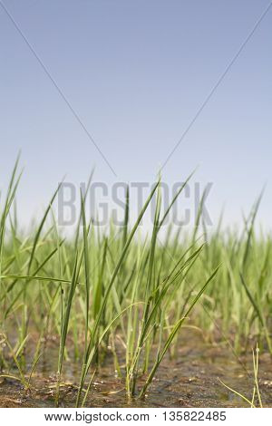 Young rice are growing in paddy fields Vegas Altas del Guadiana Spain. Low angle closeup