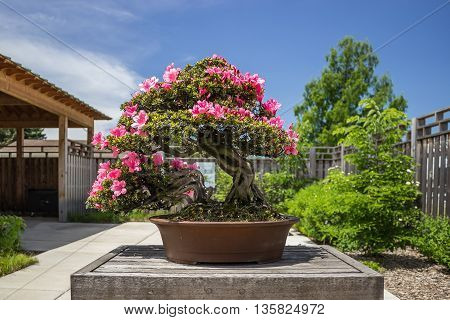 Pink azalea (Rhododendron) bonsai plant sitting outside on wooden table